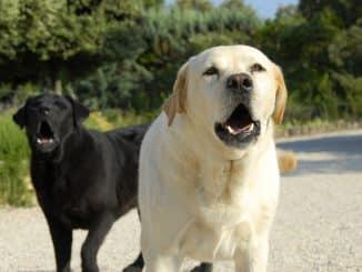 zwei bellende Hunde