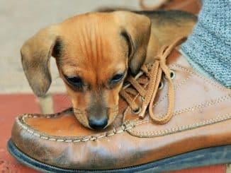 Welpe beisst in einen Schuh